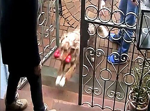 Hund während der Krebstherapie mit Ozon.