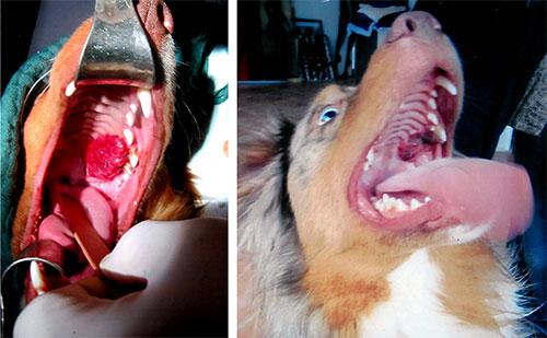 Fibrosarkom bzw. Melanom beim Hund vor und nach der Operation, die während der Krebstherapie mit Ozon durchgeführt wurde.