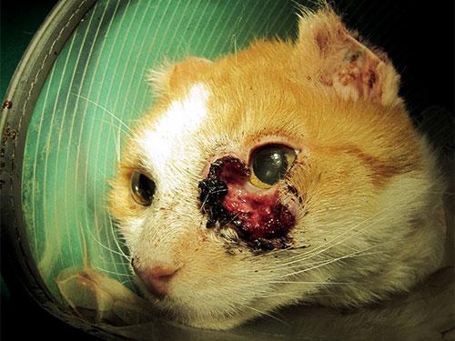 Plattenepithelkarzinom-an-Auge-und-Ohr-bei-der-katze-vorher-02
