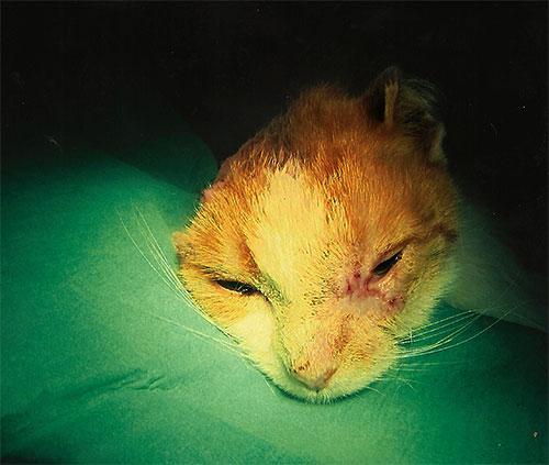 Plattenepithelkarzinom bei der Katze: zwei Wochen nach der Operation