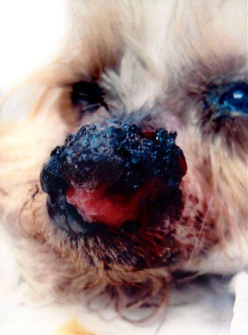Bösartiges Melanom an der Nase bei diesem Hund.