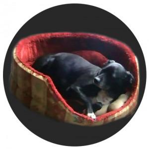 Spindelzellkarzinom beim Hund an rechter Pfote: Nahaufnahme