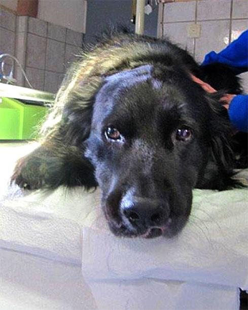 Malignes Melanom (Spindelzelltumor) beim Hund an der Lefze nach der Operation
