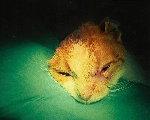 portfolio-Plattenepithelkarzinom-an-Auge-und-Ohr-bei-der-katze