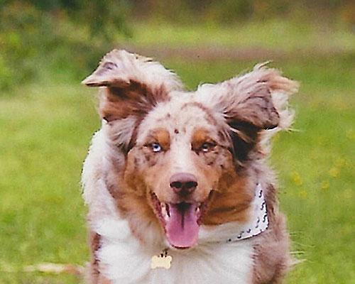 portfolio-australian-shepherd-maligner-spindelzelltumor-am-oberkiefer-beim-hund