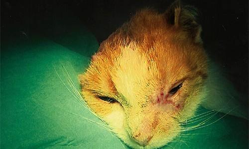 Plattenepithelkarzinom bei Katze an Auge und Ohr