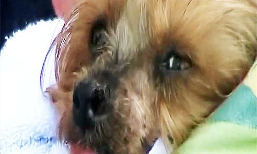 Bösartiges Melanom beim Hund am Nasenflügel